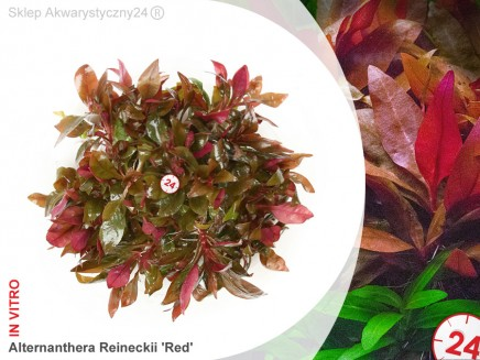 ALTERNANTHERA REINECKII sp. RED | Kubek 10cm, Uprawa In Vitro