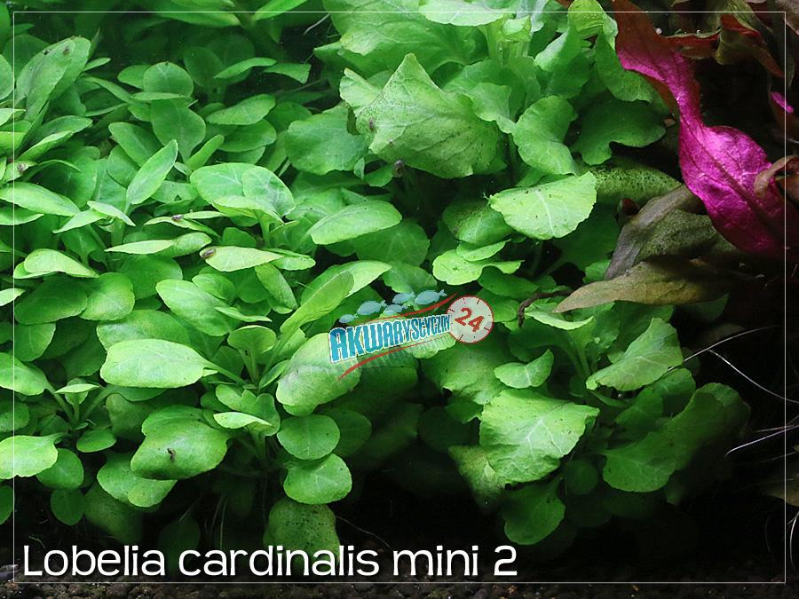 lobelia cardinalis mini typ 2 akwarystyczny24. Black Bedroom Furniture Sets. Home Design Ideas