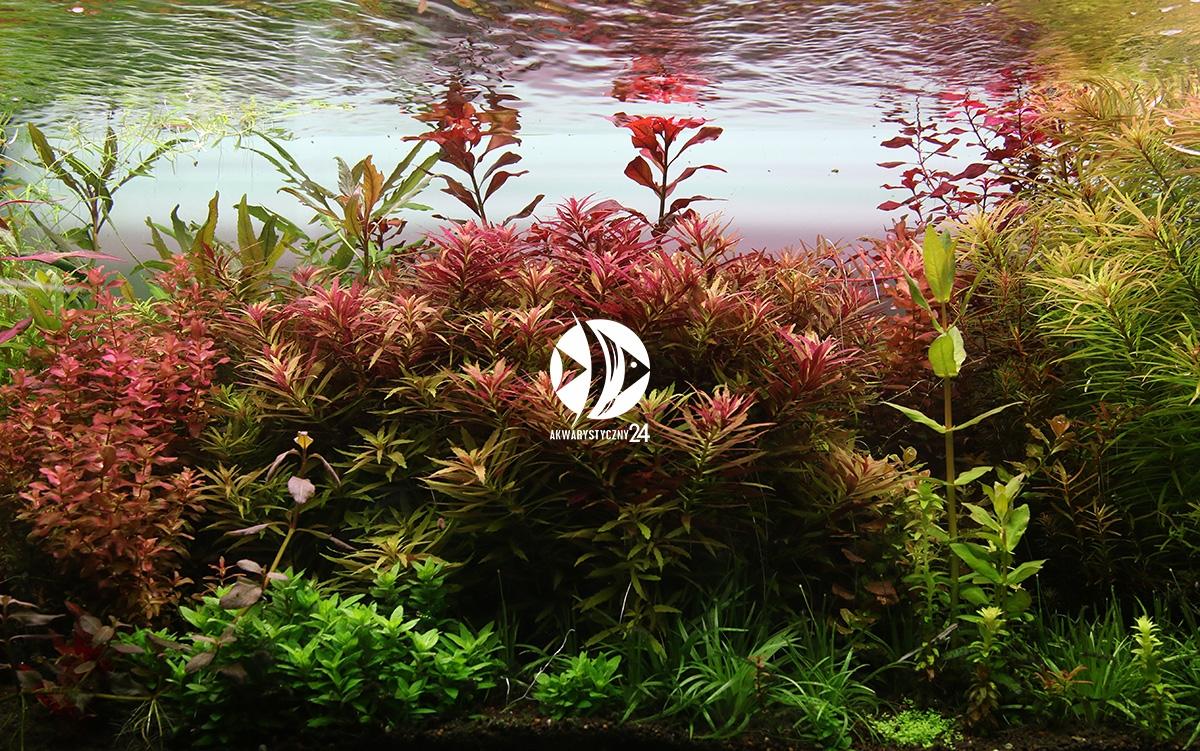 Rośliny w akwarium w którym nie brakuje składników odżywczych