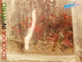 Rośliny akwariowe - szkółka roślin In Vitro