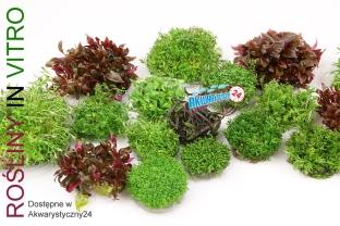 Rośliny akwariowe O roślinach In Vitro słów kilka