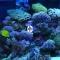 JBL Marin Blue Solar Ultra T5 (61782) - Świetlówka T5 do akwarium morskiego