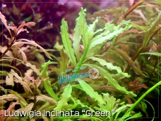 LUDWIGIA INCLINATA 'GREEN'