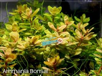 AMMANNIA BONSAI | 5 sztuk