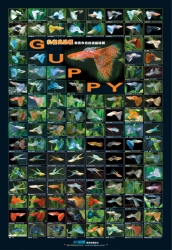 AZOO Plakat akwarystyczny Guppy (AZ90134) - Gupiki