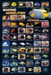 AZOO Plakat akwarystyczny AZ90144 Marine AngelFish