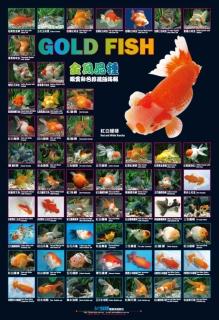 AZOO Plakat akwarystyczny AZ90176 Złote rybki