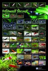 AZOO Plakat akwarystyczny Freshwater Shrimps (AZ90191) - Krewetki