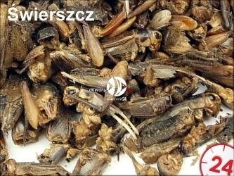 Suszony świerszcz 100g - Do karmienia ryb, żółwi, gadów i ptaków.