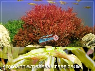 ROŚLINY AKWARIOWE AMMANNIA/NESAEA CRASSICAULIS 2 sztuki