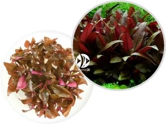 ROŚLINY IN-VITRO Alternanthera Reineckii Mini - Uprawa in-Vitro, roślina miniaturowa zabarwiona na czerwono