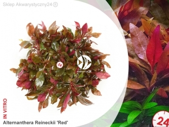 ALTERNANTHERA REINECKII sp. RED | Kubek 5cm, Uprawa In Vitro