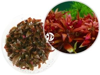 ROŚLINY IN-VITRO Alternanthera sp. Red - Uprawa in-Vitro, roślina zabarwiona na czerwono z gatunku Alternanthera
