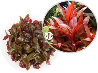 ROŚLINY IN-VITRO Alternanthera Reineckii Roseafolia - Uprawa in-Vitro, duża roślina o zabarwieniu czerwono-różowym