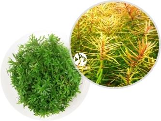 ROŚLINY IN-VITRO Didiplis Diandra - Uprawa In Vitro, roślina o liściach w kształcie igiełek