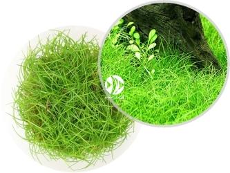ROŚLINY IN-VITRO Eleocharis Pusilla - Uprawa In Vitro, roślina trawnikowa tworząca gęsty, zielony trawnik