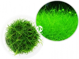 ROŚLINY IN-VITRO Eleocharis Parvula - Uprawa In Vitro, niewielka roślina trawnikowa mało wymagająca