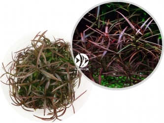 ROŚLINY IN-VITRO Hygrophila Araguaia - Uprawa In Vitro,  roślina o wąskich, długich liściach w kolorze czerwieni i brązu