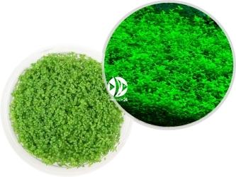 ROŚLINY IN-VITRO Hemianthus Callitrichoides Cuba - Uprawa In Vitro, roślina trawnikowa tworząca zielony dywan w akwarium