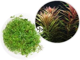 ROŚLINY IN-VITRO Limnophila Aromatica - Uprawa In Vitro, ładnie pachnąca roślina o zielono-czerwonych liściach