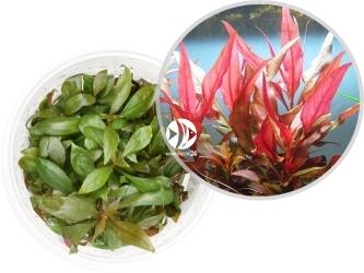 ROŚLINY IN-VITRO Alternanthera Reineckii - Uprawa in-Vitro, roślina o podłużnych czerwonych liściach