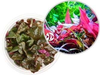 ROŚLINY IN-VITRO Alternanthera Reineckii Lilacina Pink - Uprawa in-Vitro, roślina łodygowa o wielobarwnych liściach