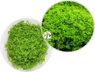 ROŚLINY IN-VITRO Micranthemum Monte Carlo - Uprawa In Vitro, roślina trawnikowa tworząca zielony dywan w akwarium
