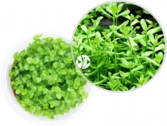ROŚLINY IN-VITRO Bacopa Australis - Uprawa In Vitro, jasno zielona roślina o okrągłych liściach