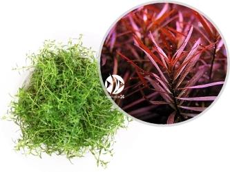 ROŚLINY IN-VITRO Ludwigia Arcuata - Uprawa In Vitro,  roślina o wąskiej, długiej łodydze i lancetowatych liściach