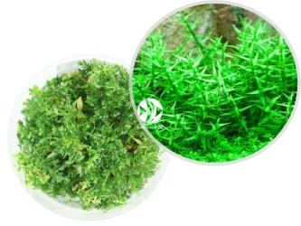ROŚLINY IN-VITRO Gratiola Viscidula - Uprawa In Vitro, drobna roślina o grubej łodydze naprzemiennie osadzonymi szpiczastymi listkami