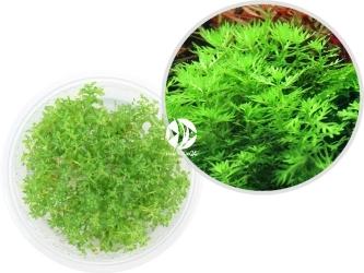 ROŚLINY IN-VITRO Hottonia Inflata - Uprawa In Vitro, roślina błotna posiadająca pierzaste, jasnozielone liście