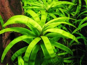 Eichornia diversifolia