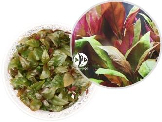 ROŚLINY IN-VITRO Alternanthera Reineckii Purple - Uprawa in-Vitro, wielobarwna roślina z gatunku Alternanthera