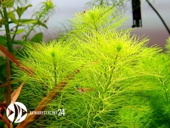 ROŚLINY AKWARIOWE Myriophyllum aquaticum var. Santa Catarinense
