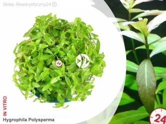 HYGROPHILA POLYSPERMA | Kubek 5cm, Uprawa In Vitro