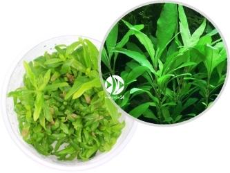ROŚLINY IN-VITRO Hygrophila Siamensis 53B - Uprawa In Vitro, Roślina o wąskich jasnozielonych liściach