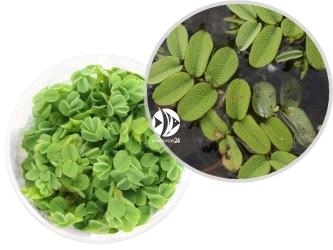 ROŚLINY IN-VITRO Salwinia Natans - Uprawa In Vitro, roślina pływająca o okrągłych listkach