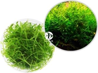 ROŚLINY IN-VITRO Java Moss - Uprawa In Vitro,  mech o jasnozielonej barwie tworzący wielkie kępy w akwarium