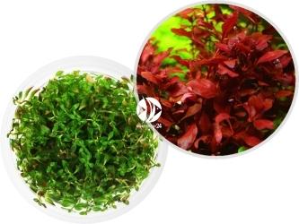 ROŚLINY IN-VITRO Ludwigia Super Mini Red - Uprawa In Vitro, dekoracyjna roślina o bordowo-czerwonych liściach