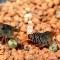 JBL NovoPrawn 100ml (30276) - Tonący pokarm dla krewetek