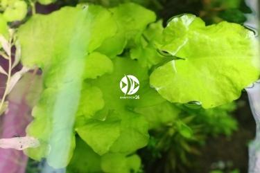 ROŚLINY AKWARIOWE Nymphoides hydrophylla 'Taiwan' (Grzybieńczyk Tajwański) - Roślina do akwarium na 2-3 plan.