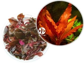 ROŚLINY IN-VITRO Alternanthera Splendida - Uprawa In-Vitro, posiada intensywną czerwono-bordową barwę