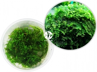 ROŚLINY IN-VITRO China Moss - Drobny mech o gęsto rosnących gałązkach