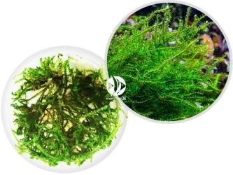 ROŚLINY IN-VITRO Creeping Moss - Mech pnący o dużych zielonych gałązkach