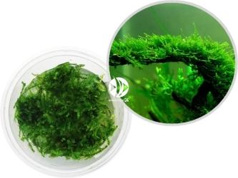 ROŚLINY IN-VITRO Christmas Moss - Mech akwariowy tworzący gęste, zielone kępy