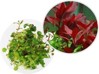 ROŚLINY IN-VITRO Ludwigia Repens - Łatwa w uprawie roślina o czerwonych liściach