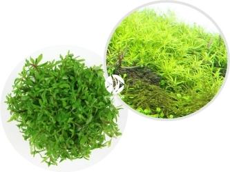 ROŚLINY IN-VITRO Limnophila Scrophulariaceae - Drobna roślina łodygowa