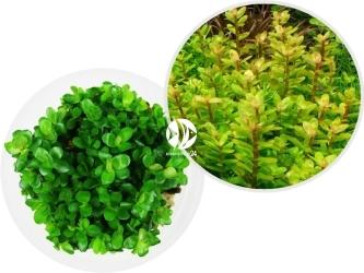 ROŚLINY IN-VITRO Ammania sp.'Bonsai' - Niewielka wolno rosnąca roślina zielona