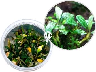 ROŚLINY IN-VITRO Bucephalandra sp. 'Aqua Artica' - Zielona roślina przeznaczona na drugi plan