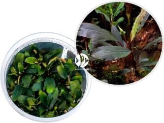 ROŚLINY IN-VITRO Bucephalandra sp. 'Ulysses' - Wielobarwna roślina przeznaczona na drugi plan